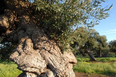 Puglia Please Olive Tree from Corato, Puglia, Italy