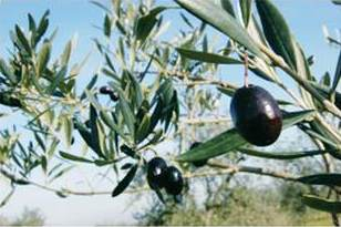 Torelli Extra Virgin Olive Oil Premium Reserve Organic Tree