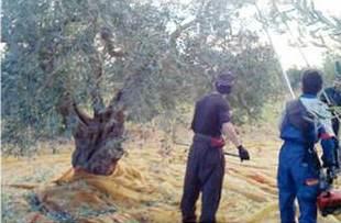 Torelli Extra Virgin Olive Oil Premium Reserve Organic Harvest