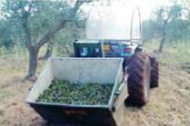 Torelli Extra Virgin Olive Oil Premium Reserve Organic Harvest2